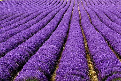 Purple Horizon, Lavender Field, The Netherlands